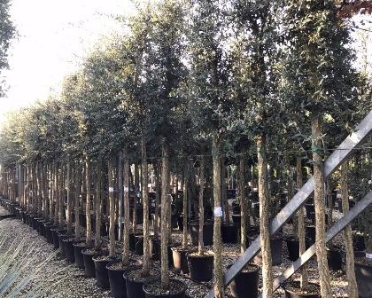 Quercus suber 18/20