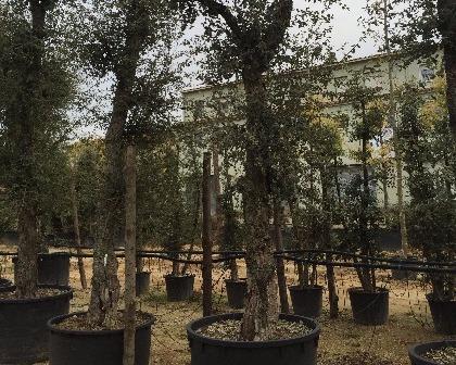Quercus suber 60/80 ejemplar (number 2)