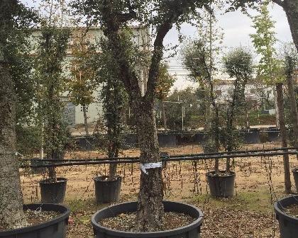 Quercus suber 60/80 ejemplar (number 3)
