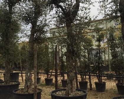 Quercus suber 60/80 ejemplar
