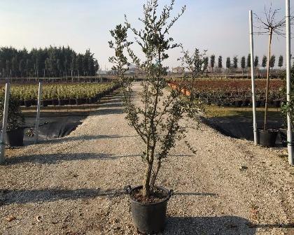 Quercus suber bush