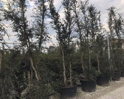 Quercus suber multitrunk