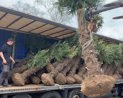 Trachycarpus fortunei rootball 120/140