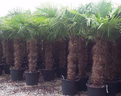 Trachycarpus fortunei palm tree