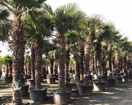 Trachycarpus fortunei tronco 200/300 cm