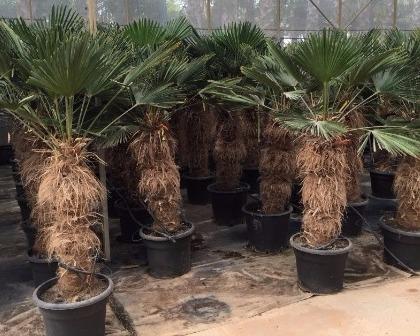 Trachycarpus wagnerianus palm
