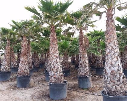 Washingtonia robusta 150/200 cm tronco