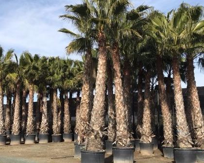 Washingtonia robusta palmtree