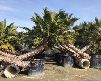 Washingtonia robusta swimming pool palmtree