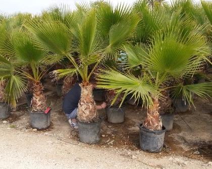 Washingtonia robusta small