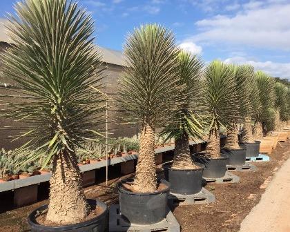 Yucca filifera ejemplar