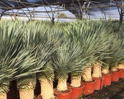 Yucca rostrata 30/40 trunk