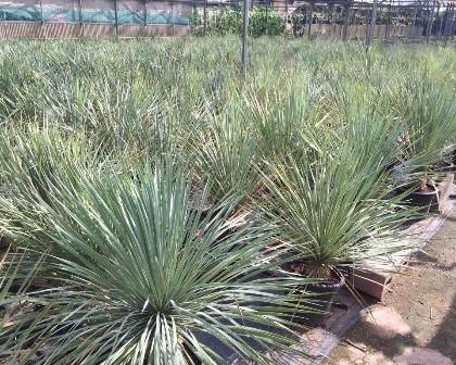 Yucca rostrata 60/80 cm