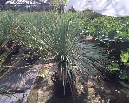 Yucca rostrata 60/80