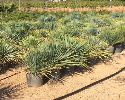 Yucca rostrata C 15l