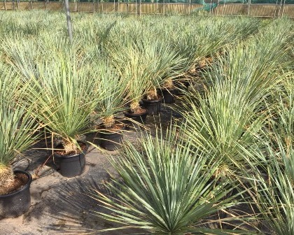 Yucca rostrata 15/20 cm tronco