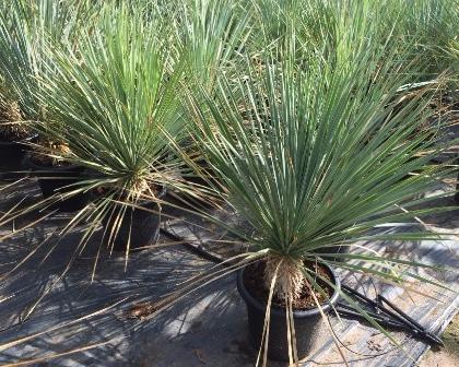 Yucca rostrata 15/20 cm trunk