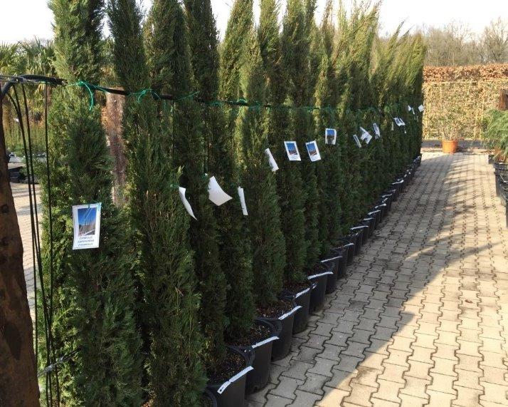 Italiaanse cypres / cypressen