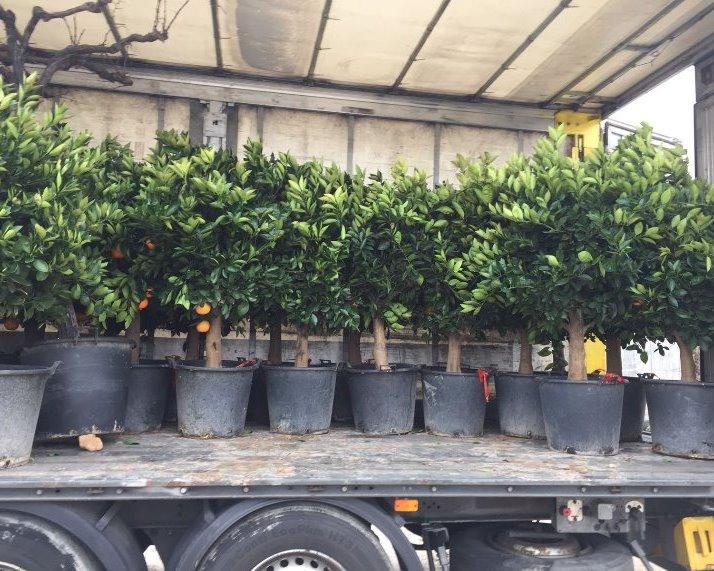 Sinaasappel bomen
