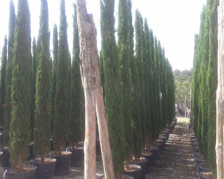 Cipressen van 3, 4 en 5 meter hoog