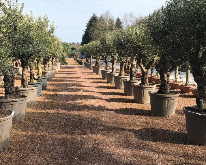 Olijfbomen - Olea europaea kwekerij