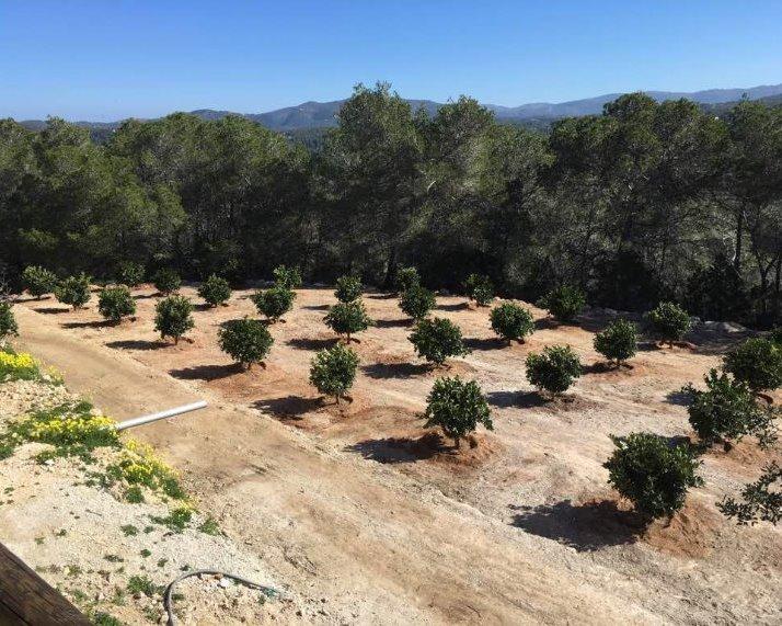 Het eindresultaat : Sinaasappel plantage op Ibiza