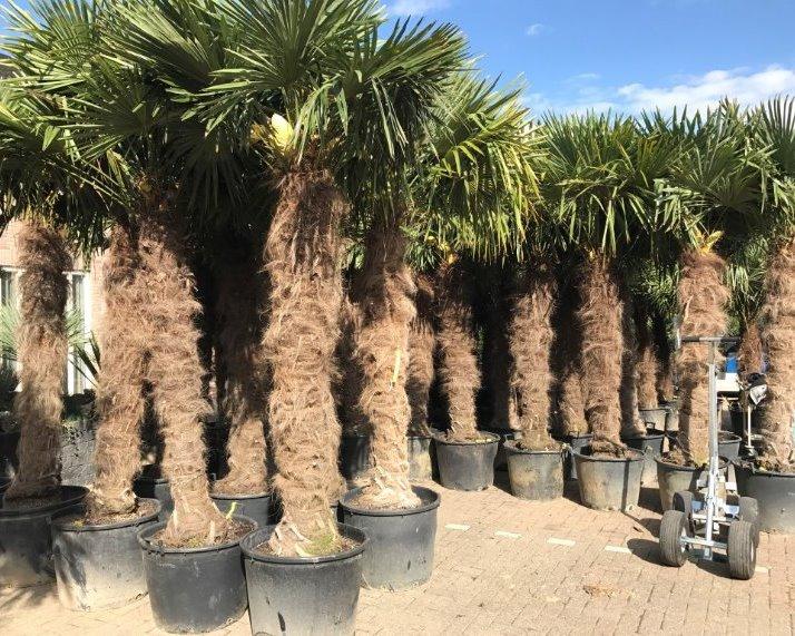 Trachycarpus fortunei palmbomen
