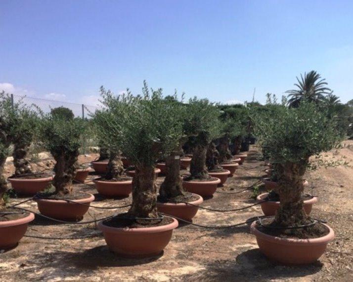 Olijfboom - Olea europaea 60/80 decoschaal