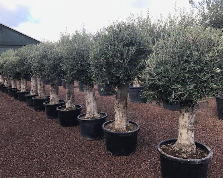 Olijfboom - Olea europaea Piqual bol met oude stam