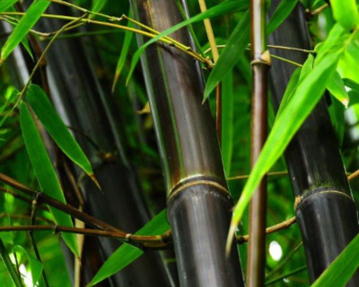 Phyllostachys nigra bamboe