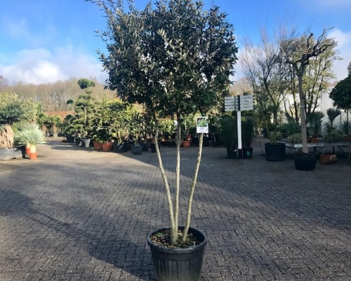 Steeneik - Quercus ilex multistam