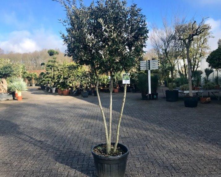Steeneik - Quercus ilex multistammen