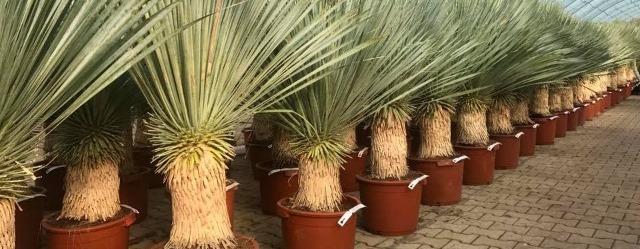 Schitterende Yucca rostrata